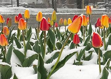Tulpen in einer Schneelandschaft